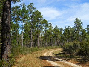 DeSoto_National_Forest.jpg By Woodlot [CC BY-SA 3.0  (https://creativecommons.org/licenses/by-sa/3.0) or GFDL (http://www.gnu.org/copyleft/fdl.html)], from Wikimedia Commons